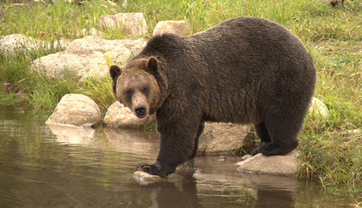 How to Avoid Encounter with the Yellowstone Bear